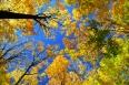 Fall maple trees